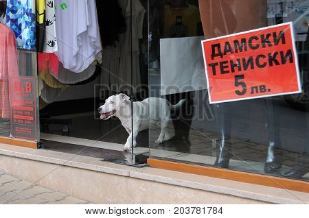 VELIKO TARNOVO; BULGARIA - SEPTEMBER 5; 2017: White dog in the doorway of the store