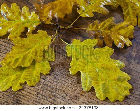 wet autumn yellow oak tree leaves on old oak wooden desk natural background