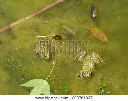 Frog In The Water. An Overgrown Pond With A Frog.