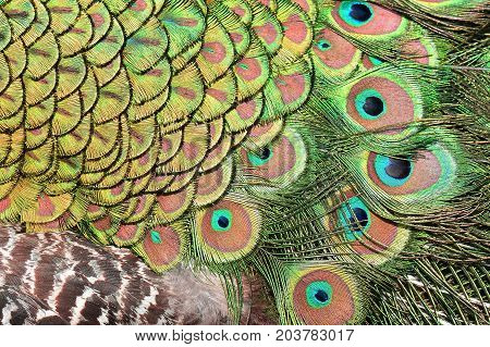 Abstract image of male peacock tail feathers