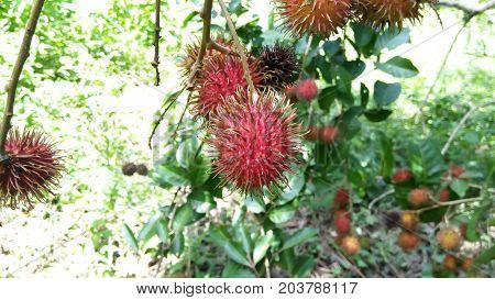 rambutan that has been flushed, ready for harvest