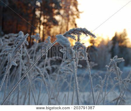 Winter scene . Frozenned flower , Frozenned outdoor nature