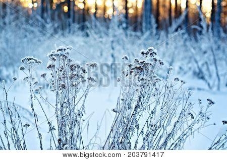 Winter landscape.Winter scene . Frozenned flower Frozenned outdoor nature