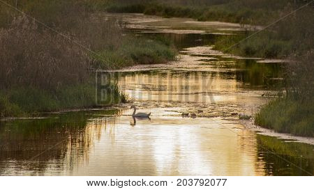 Golden colored river with a swan swimming