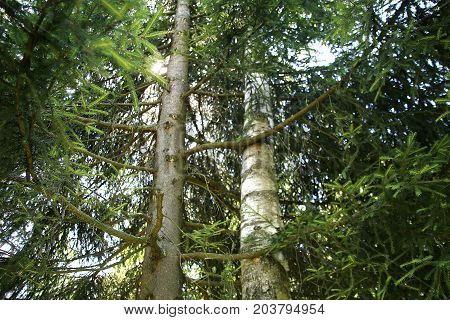 Spruce and birch hug each other in forrest