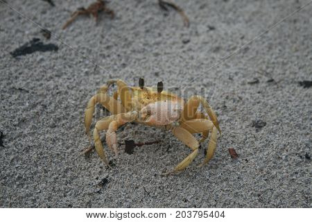 Yellow sand crab with big eyes crustacean poster