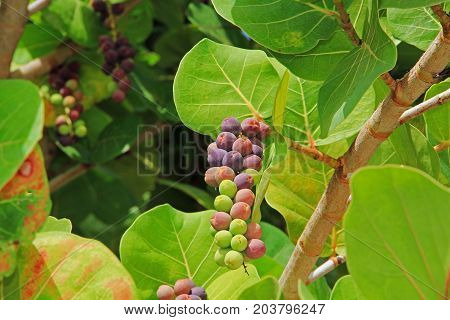 Close up view of ripening sea grape cluster in Antigua Barbuda Lesser Antilles, West Indies, Caribbean.