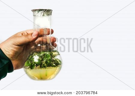 Man hand holds test tubes with microplants of cloned plant in nutrient medium, micropropagation technology in vitro. White background for copy space