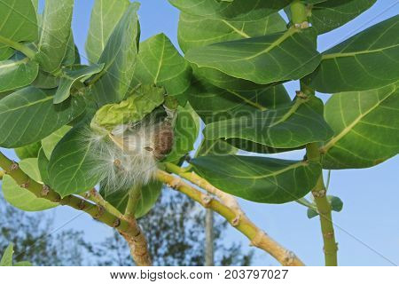 Fuzzy seed parachutes of the Giant Milkweed against a blue sky in Antigua Barbuda Lesser Antilles, West Indies, Caribbean.