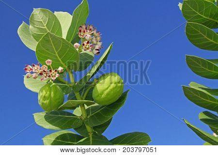 Star Shaped blooms and seed pods on a giant milkweed against a blue sky copy space in Antigua Barbuda Lesser Antilles, West Indies, Caribbean.