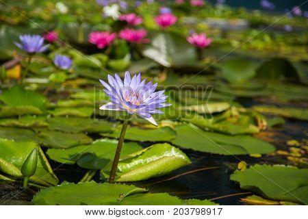 Lotus Flower In Pond At Marina Bay Front, Singapore