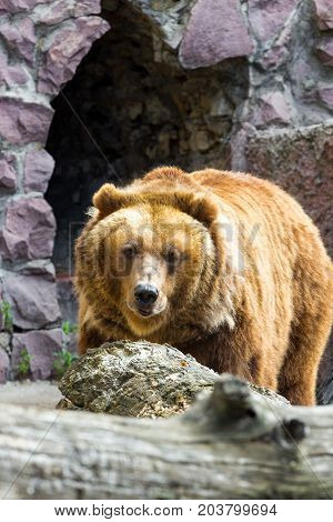 The brown bear came out of the cave enclosure in the zoo