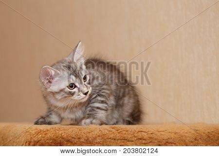 Cute little kitty Bobtail. Pets. Hypoallergenic cat breed. Hunt