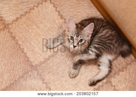 The cute little kitten the Bobtail is resting. View from above. Pets. Hypoallergenic cat breed. Portrait of a striped and furry cat.