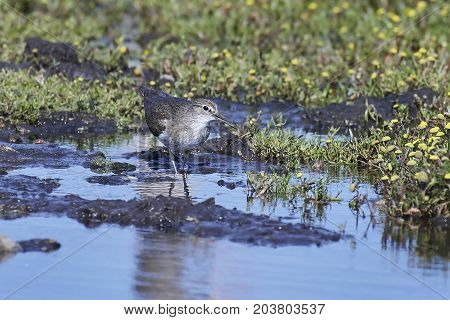 Green sandpiper looking for food in its natural habitat