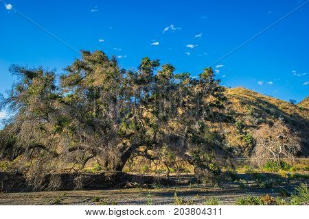 Oak Tree In California Canyon