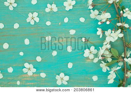 Branch Of Spring Flowers Of Cherry On Old Obsolete Blue Wooden Board Top View And Close Up.