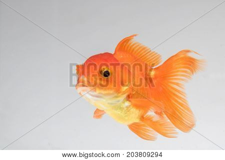 Close up Goldfish isolate on a gray background