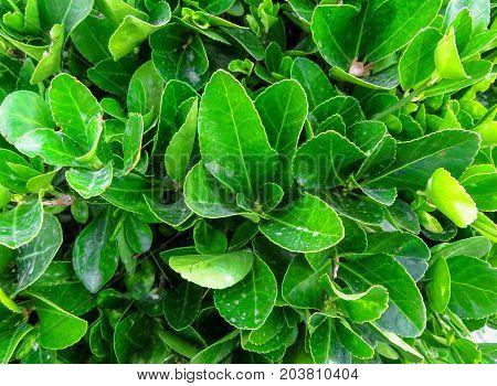Rimini - Green Hedge Of Evergreen Bushes