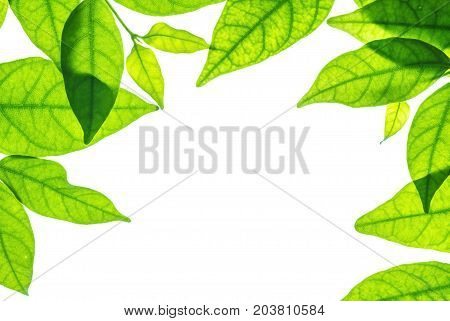 Closeup white space at the center of frame by fresh green leaves isolated on white background