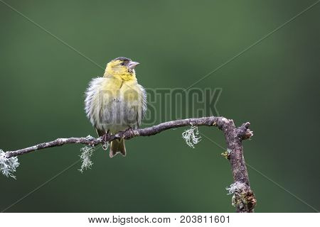 A juvenile female siskin with fluffled out ruffled feathers perched on a branch looking alert to the right with space for text
