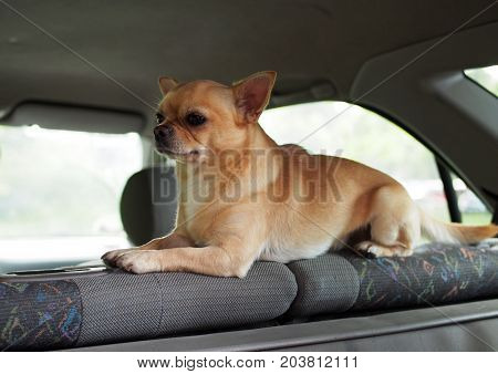 The nice doggie of a chihuahua guards inside of the car