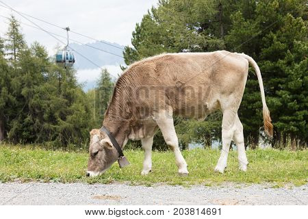 Brown Milk Cow In A Meadow, Austria, Skilift In The Background