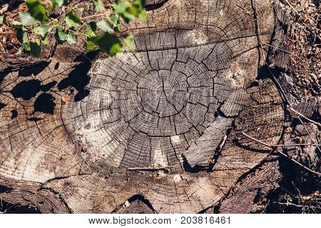 Forest stump. Felled tree in the forest. stump of tree felled - section of the trunk with annual rings.