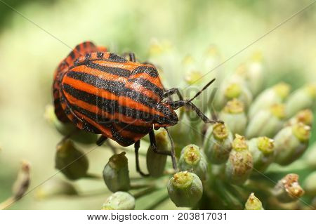 Red-black striped bedbug leaf-shaped or graphosome. Red and black striped stink bugs on a flower
