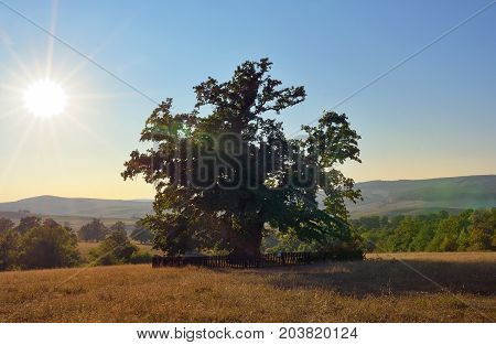 Oldest oak in Romania being estimated approximation to 900 years near Mercheasa village