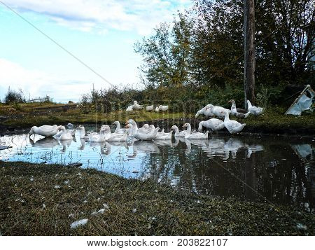 flock of domestic white geese swims in a small pond in search of food.