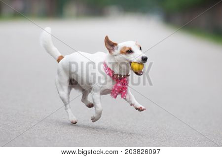 funny Jack Russell Terrier dog playing ball for a walk in the park
