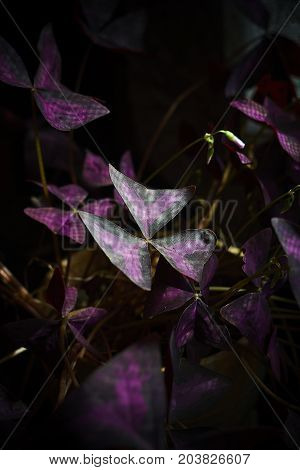 oxalis shamrock bright purple plant leaves and dark background