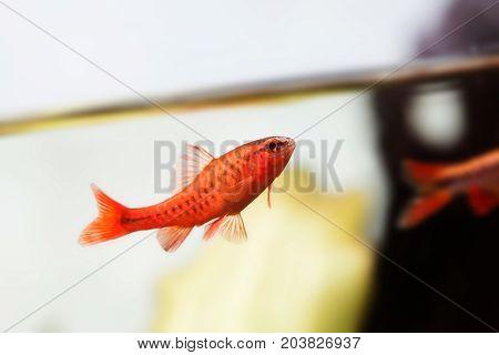 Dominant cherry barb male fish. Tropical freshwater aquarium water surface on white background. Puntius titteya belonging to the family Cyprinidae.