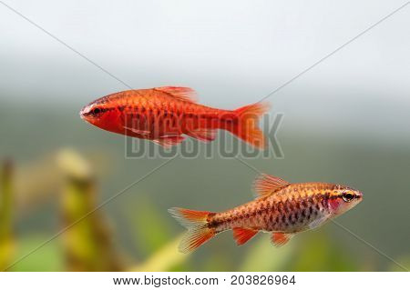 Pair red orange exotic aquarium fishes macro view. Puntius titteya male female barb swimming. Aquatic nature still life scene. Shallow depth of field.