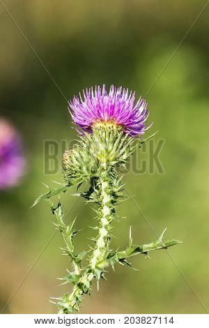Medicinal herbs: Brightly violet flower of spiny plumeless thistle (Carduus acanthoides)