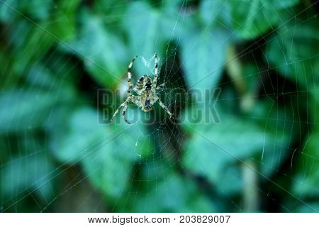 A cross spider sitting in the middle of its spiderweb in fall.