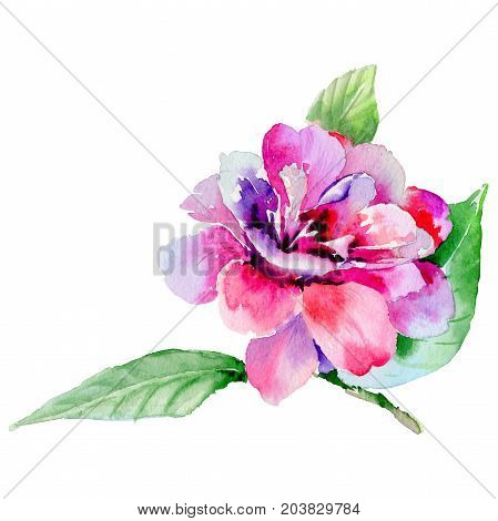 Wildflower camellia flower in a watercolor style isolated. Full name of the plant: camellia. Aquarelle wild flower for background, texture, wrapper pattern, frame or border.