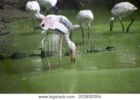 stork eating fish catching hunting on water with open beak pink white color