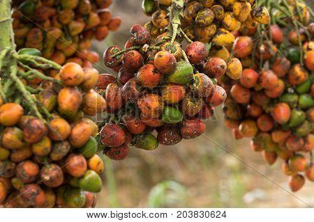 peach palm fruit clusters in Ecuadors Amazon region