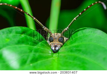 Batocera numitor insect lying down on green leaf in forest
