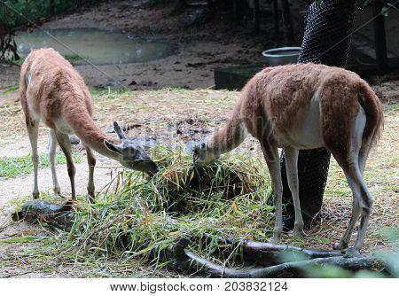 Image Of Lamas On A Farm