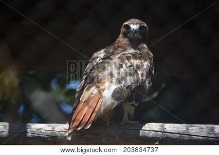 Scenic View of a Red Tail Hawk Up Close in Nature
