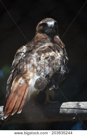 Cool Red Tail Hawk with Many Colors
