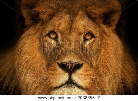 Portrait lion. Detail face lion. Poster with lion