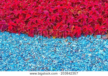 Abstract Fragment Of A City Street Flowerbed In Summer - Red Coleus And Blue Mulching Wood Chips