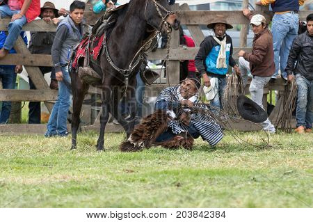 June 3 2017 Machachi Ecuador: cowboy called 'chagra' falling off the horse during a rural bull lassoing rodeo