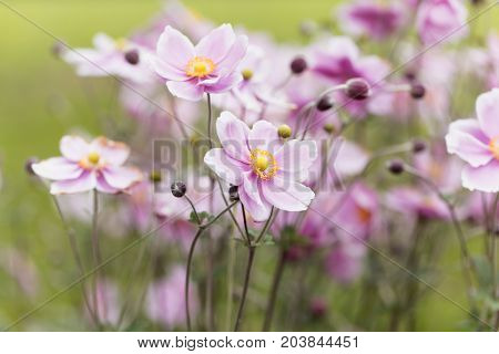 A flower of a Chinese anemone (Anemone hupehensis)