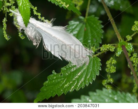 A Wet White Feather On Wet Green Leaves Nature