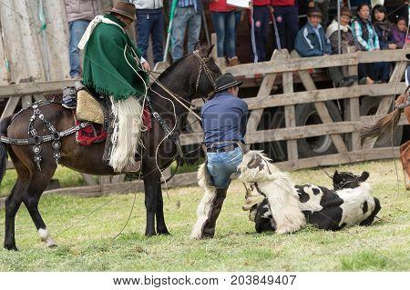 June 3 2017 Machachi Ecuador: Andean cowboys dressed traditionally roping a cow